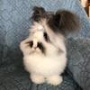 アンゴラウサギ のヘアアレンジ ①