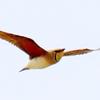 五月の上空を飛ぶツバメチドリ