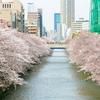 日本旅行2017年4月⑨✈目黒川の桜並木🌸