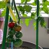 ミニトマト初収穫!と土曜日の夕ごはん事情。