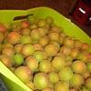今年は、大収穫・我が家の「梅・ウメ・うめ」^^! ブログ
