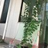 ゴーヤ鉢植え2