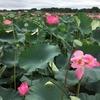 宮城県の蓮の花池と震災と