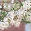 #23 プリペット 花が咲く