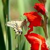 カンナの花とキアゲハ