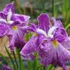 卯辰山で花菖蒲の写真撮りました(後編)