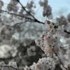 【お花見】代々木公園 開花状況はほぼ満開!駐車場にはご注意を (2018/3/25)