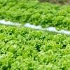 LED菜園で野菜を栽培する事について