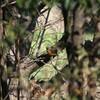 ハチジョウツグミ、アカハラ・・・撮影は機材が大事です(大阪城野鳥探鳥 2016/03/12 6:05-11:40)