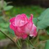 秋のバラ ~その3~