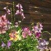開花!ワイルドフラワー ハイドロカラーミックス