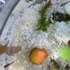 ラメ三色ミユキメダカガラス小鉢の清掃
