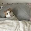 猫がお布団で待っている生活。