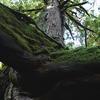 三本足で立つ巨木 - 屋久島