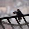 ツバメのひな鳥