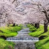 観音寺川へ桜を撮影する旅