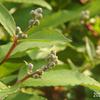 卯の花つぼみ 20205.1