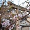 朝の桜見回り