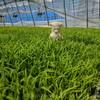 お米の苗、毎日成長中!田植えまであと少し