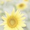 観光農園花ひろばのほのかに咲くひまわり