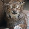 シベリアオオヤマネコ Lynx lynx