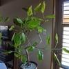 本日は、大胆な剪定をした観葉植物の10日後をご報告いたします。