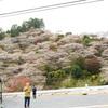 3つの季節までは見つけられた『豊田市小原町の四季桜まつり』