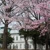 北大の桜も見頃