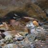 アマゴ Oncorhynchus masou ishikawae (アマゴ受精卵 2013.02.04)