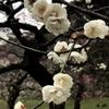 都内有数の梅の名所でもある「皇居東御苑」(東京都千代田区)