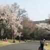 国営昭和記念公園でお花見しました