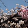 Sakura Two Colors