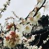 庭にも春の訪れ❣️梅の花や初ミモザの黄色い花が咲き始めています^_^