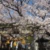 近所の神社で花見