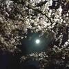 お花見納めは夜桜で 2017年春の谷中霊園
