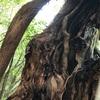 十九日目-太古の巨大樹-