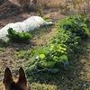 氷点下5度、シカ出没多し、でも、まだ、どうにか、かろうじて、青菜は健在