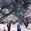 ネパ-ルの樹木と花 第2回目 マンゴ-の木と花
