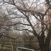 見沼用水沿いの桜も2分咲き