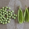グリーンピースの収穫