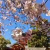 京都八幡市背割堤の桜の開花状況【さくらまつり開催中】石清水八幡宮のかわいい期間限定御朱印