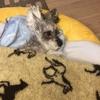 #愛犬ラブ。元気なら15歳になってたね。