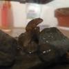 【おたまじゃくし飼育】大量死の反省と原因。奇跡の生き残りがカエルに。