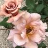"""【庭】Rosa """" Julia """""""