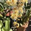 今日の植物たち(オンシジューム、ハナキリン、シクラメン、クリスマスローズ、パンジー、ビオラ、ガイラルディア)