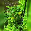 常緑ツルアジサイ ハイドランジア シーマニー