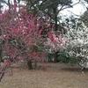 京都御苑の梅と九条家の勾玉池・茶室拾翠亭ならびに厳島神社、護王神社