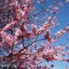 閑話休題:梅の名所 北九州市若松区  仙凡荘