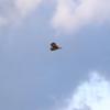 渡良瀬遊水地上空を飛ぶコミミズク