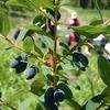 ハスカップの挿し木(その5) & Solachi体験農園